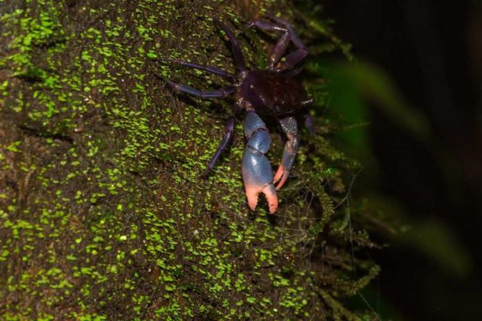 Purple forest crab, Ghatiana atropurpurea