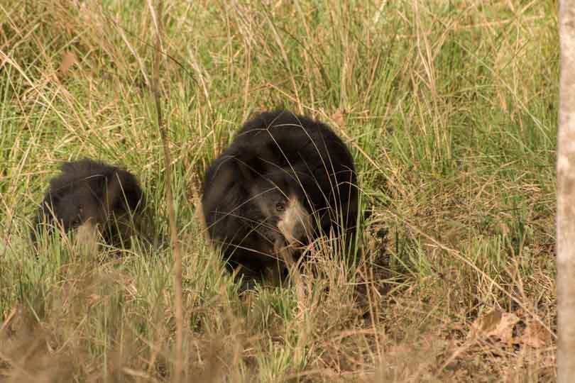 sloth bear eastern ghats telangana amrabad tiger reserve arjun kamdar