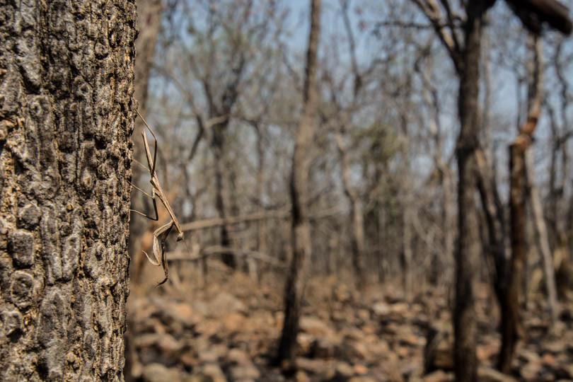 praying mantis eastern ghats telangana amrabad tiger reserve arjun kamdar