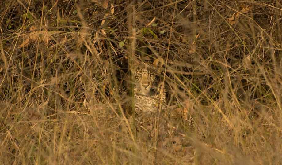 leopard eastern ghats telangana amrabad tiger reserve arjun kamdar