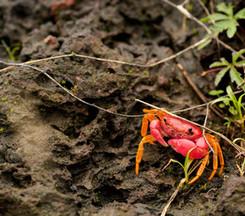 Splendid crab