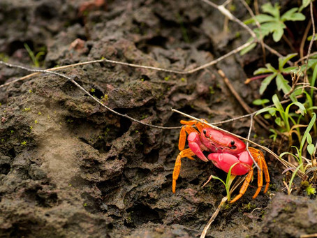 Newly discovered purple, pink and orange crabs of the Western Ghats 2016