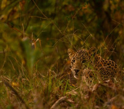 Central India leopard
