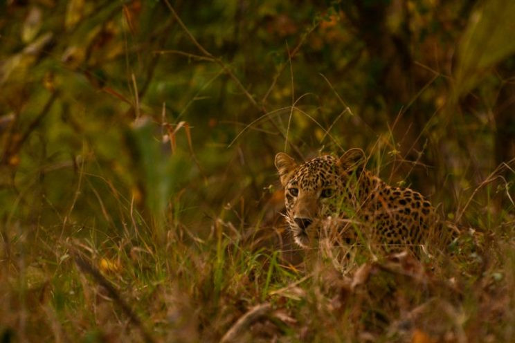 Leopard in Saptura Tiger Reserve India
