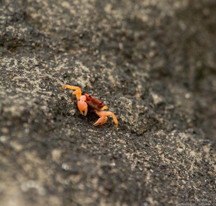 Gubernatoriana wallacei new species of crab discovered western ghats india arjun kamdar tejas thackeray