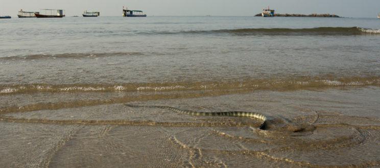 hook nosed sea snake maharashtra swim