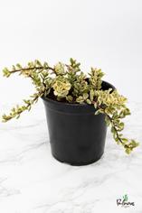 200.Παχύφυτα portulacaria afra variegata 17εκ