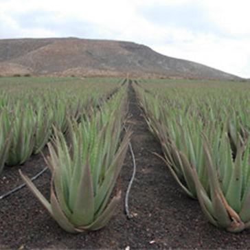 Aloe vera plantation (3).jpg