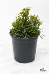 200.Παχύφυτα hatiora salicornioides γλ.17εκ