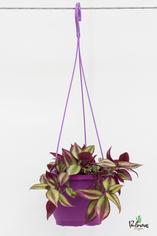 200.Φυτά tradescadia zebrina γλ.17εκ