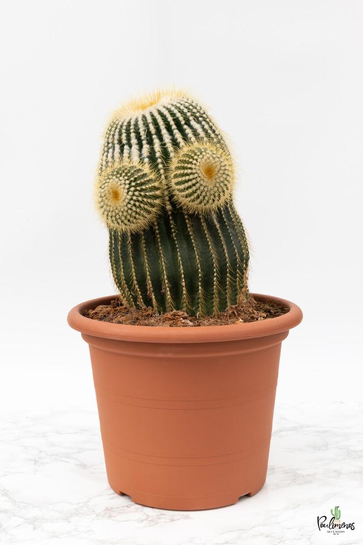 216.Κάκτοι Eriocactus warasii γλ.30εκ