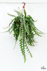 206.Παχύφυτα selenicereus anthonyanus γλ.25εκ