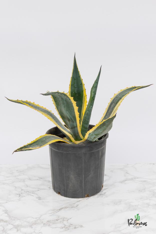 200.Agave americana variegata γλ.17εκ
