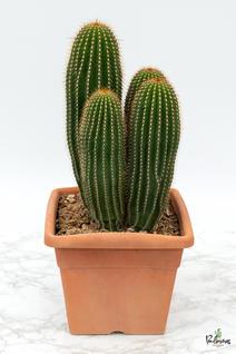 204.Κάκτοι neobauxbaumia polylopha γλ.30εκ