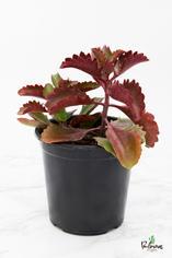 200.Παχύφυτα Kalanchoe longiflora γλ.17εκ