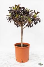 """204.Παχύφυτα Aeonium arboreum var. atropurpureum """"SCHWARZKOPF"""" γλ.24εκ"""