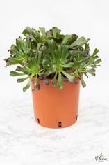 206.Παχύφυτα Aeonium arboreum rubra 24εκ