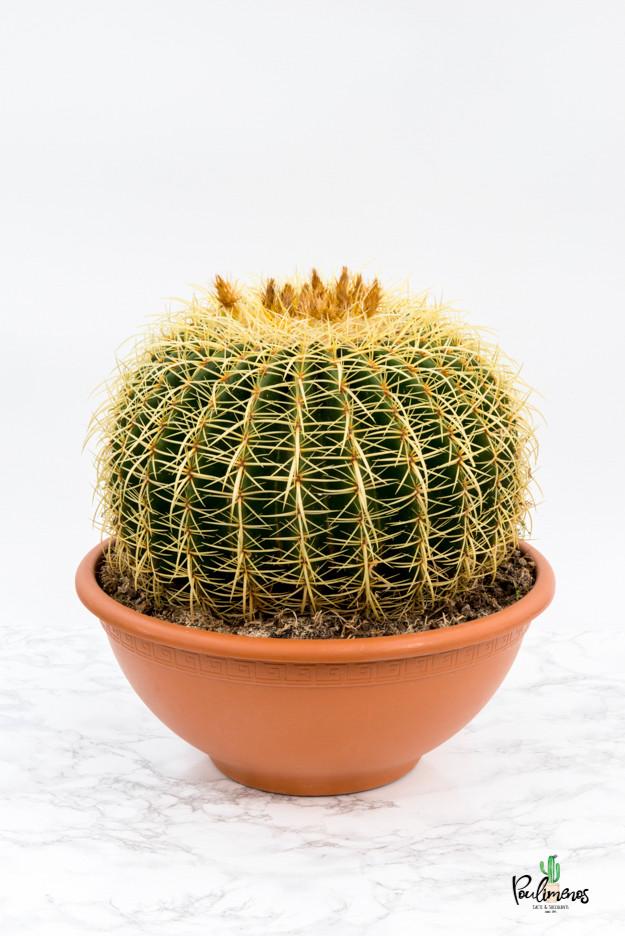 214.Κάκτοι echinocactus grussonii γλ.35εκ
