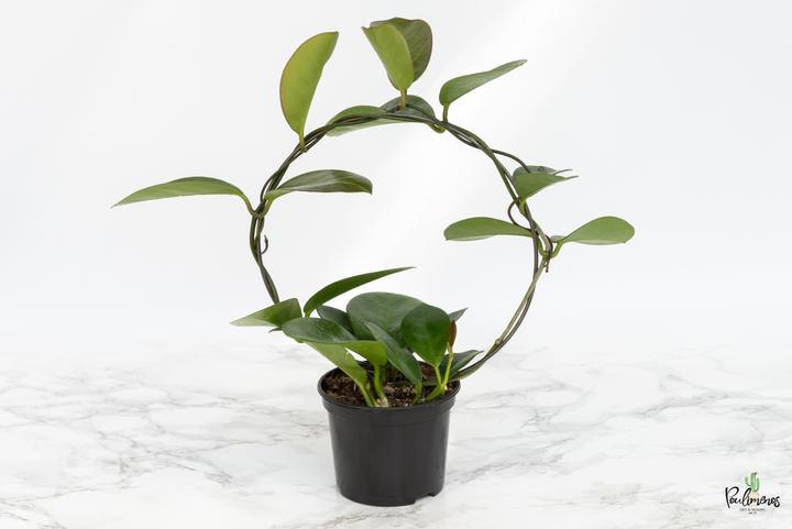 200.Hoya australis 9εκ