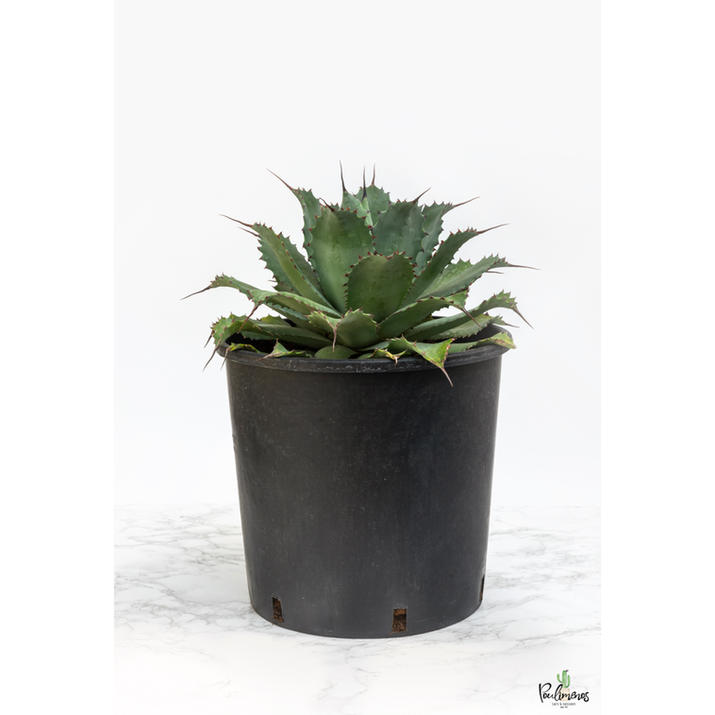 206.Agave sp. γλ.30εκ