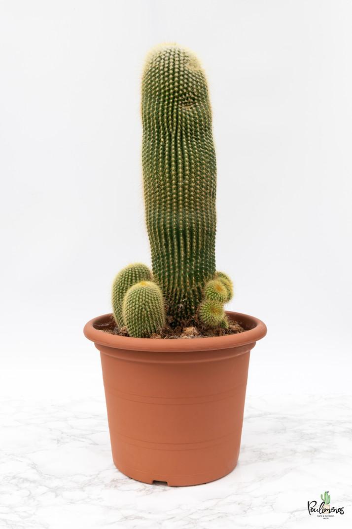 216.Κάκτοι Eriocactus leninghausii γλ.30εκ