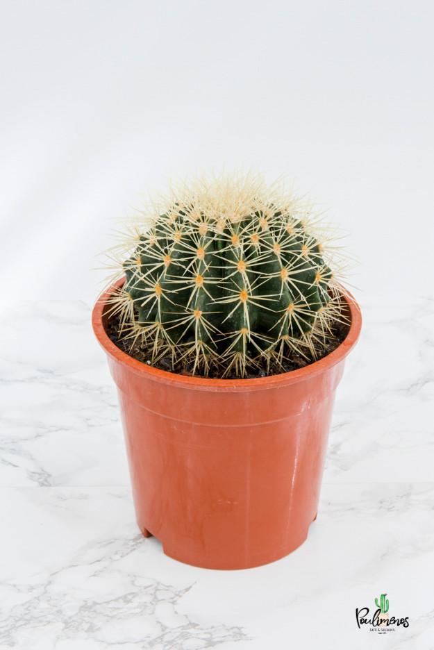 203.Κάκτοι Echinocactus grussonii 17εκ