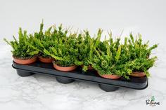 103.Παχύφυτα rhipsalis mesebryanthemoides 10.5εκ