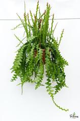 206.Παχύφυτα epiphyllum anguliger γλ.25εκ