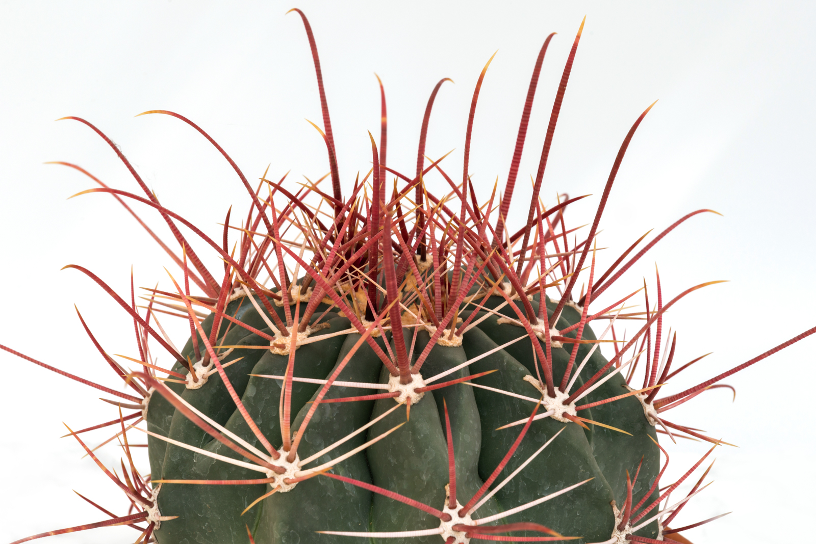 Πουλημένος ferocactus