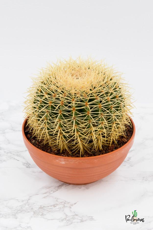 208.Κάκτοι Echinocactus grussonii 25εκ
