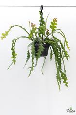 204.Παχύφυτα epiphyllum anguliger 14εκ
