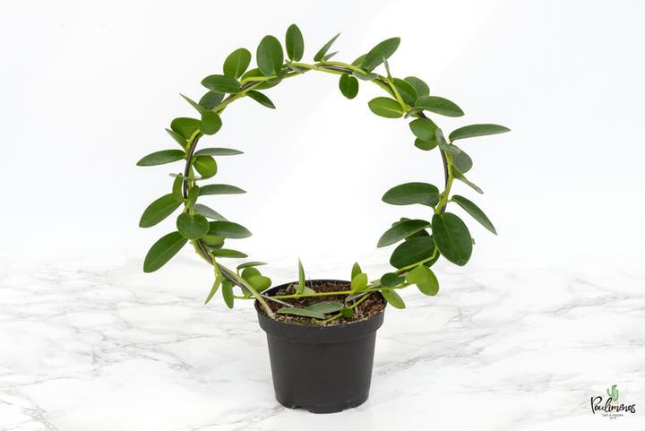 200.Hoya cumingiana 9εκ