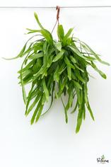 206.Παχύφυτα epiphyllum pumilum γλ.25εκ