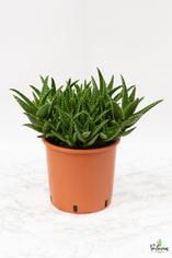 204.Παχύφυτα Aloe mirtiformis γλ.24εκ