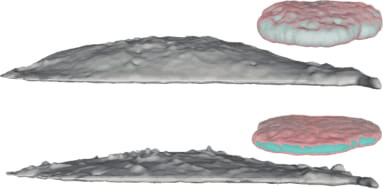 isosurfaces of whole cell and nucleus before (top) and after (bottom) hyperosmotic challenge