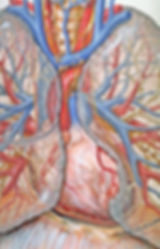 Colorful close-up medical drawing of heart