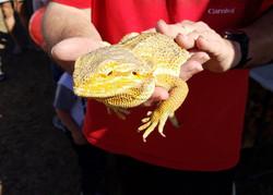 Aussie Kingdom Lizard