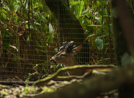 Local White Tailed Deer at Belize Zoo