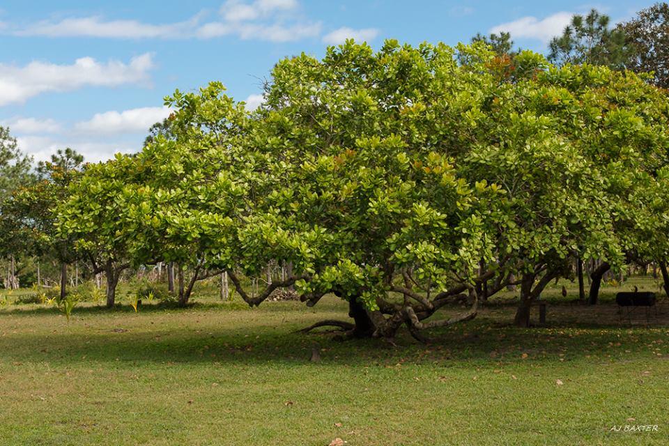 Cashew Tree St Pauls