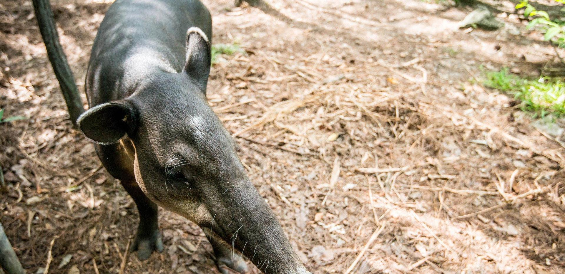 Belize Zoo Tapir Female