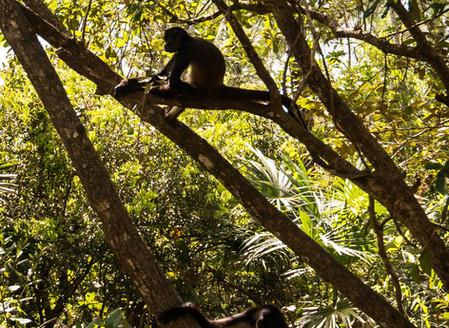 Belize Zoo Spider Monkeys