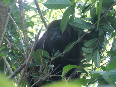 black howley monkey in belize