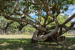 Cashew Tree 1.jpg