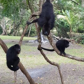 Monkey Sanctuary family of belize monkey