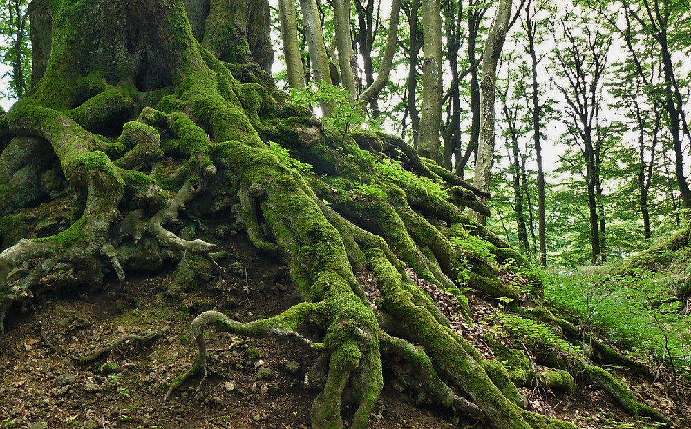 Trees communicate and cooperate through their roots. ©cocoparisienne/Pixabay