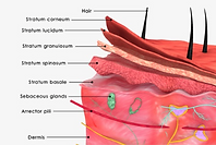 skin layers,epidermis,dermis,subcutaneius fat,dermatology,dermatologist,abilene,skin care,clinic