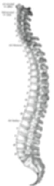 220px-Gray_111_-_Vertebral_column.png