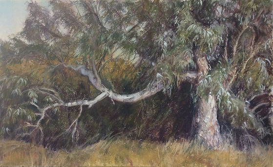 miller-eucalyptus.jpeg
