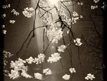 Cherry Blossom 2