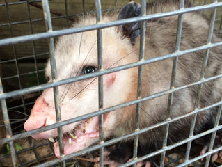 The Opossum and the Pudding